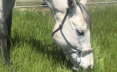 Willa Grazing in her Rope Halter